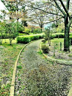 fallen sakura petals in Japanese park trail
