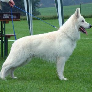imagenes de perro pastor blanco suizo