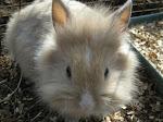 Niglia, coniglio d'angora