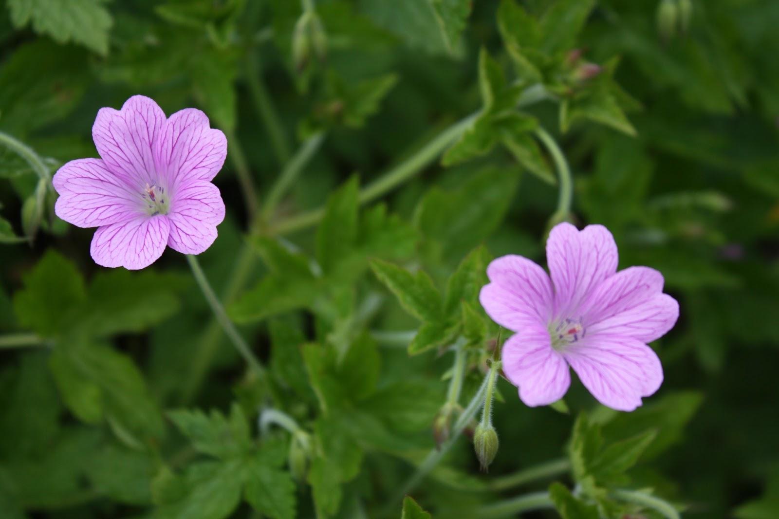 Le jardin traversiere les geraniums vivaces de mon jardin - Beau jardin rose and geranium ...