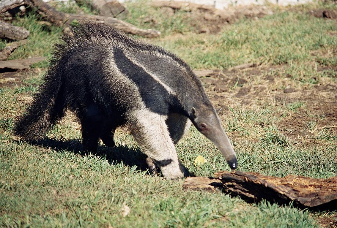 Anteater | The Biggest... Anteater Kingdom