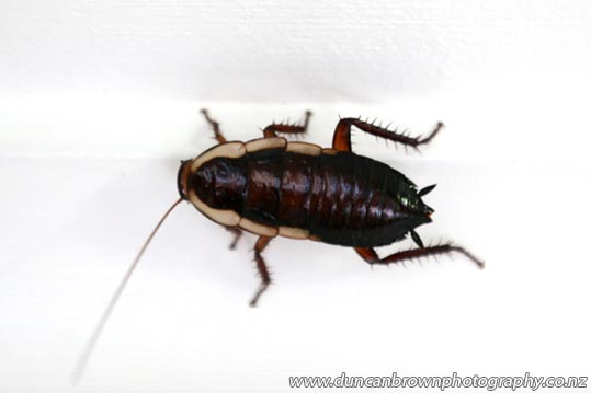The (far too) common cockroach photograph