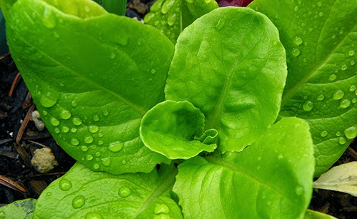 Small Green Lettuce with Raindrops