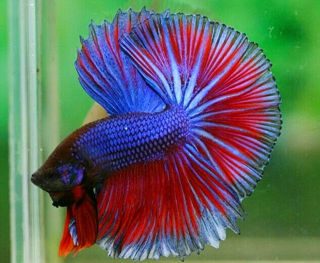 Betta red blue Halfmoon