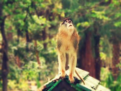 Patas monkey ready to jump