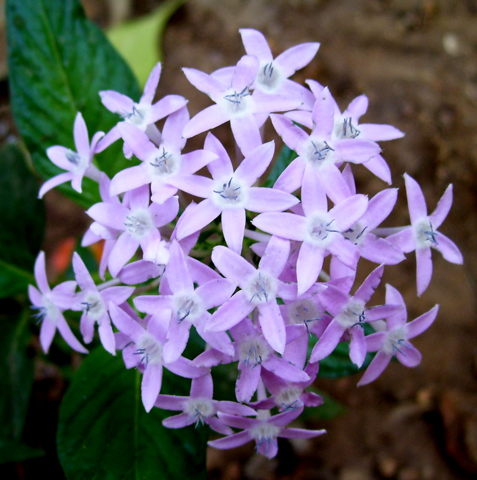 Bloom few flowering plants in my garden english pentas star flower star cluster izmirmasajfo