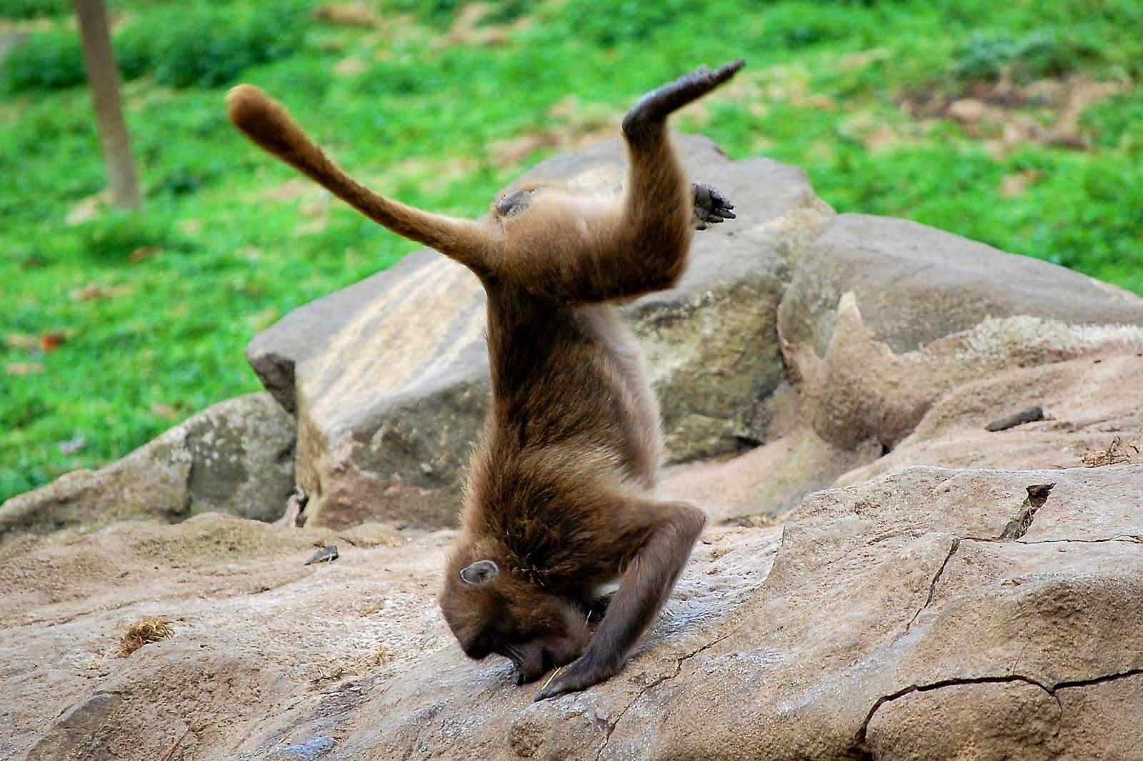 A breakdancing Gelado baboon