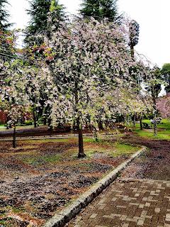 sakura cherry blossom tree in Ryounan Kouen Park in Japan in spring