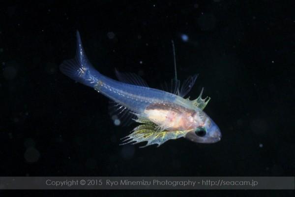 腹鰭がそそられる、クダリボウズギス属稚魚