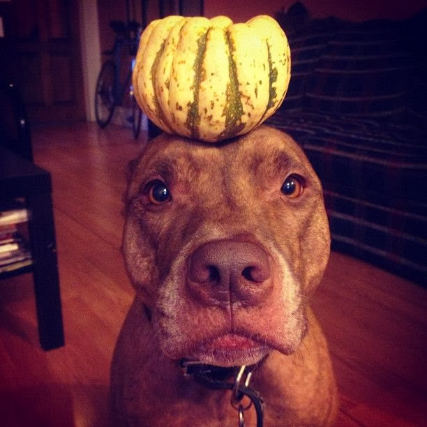 Scout the pit bull balances stuff on his head (30 pics), stuff on Scout's head, scout with fruit on his head