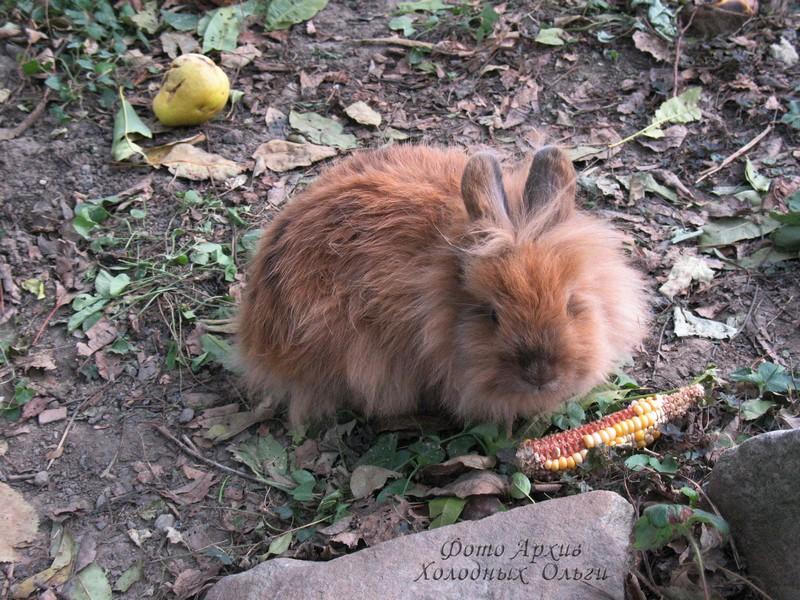 Породистый кролик