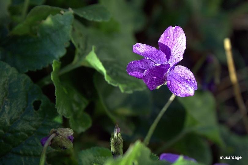 Violettes.