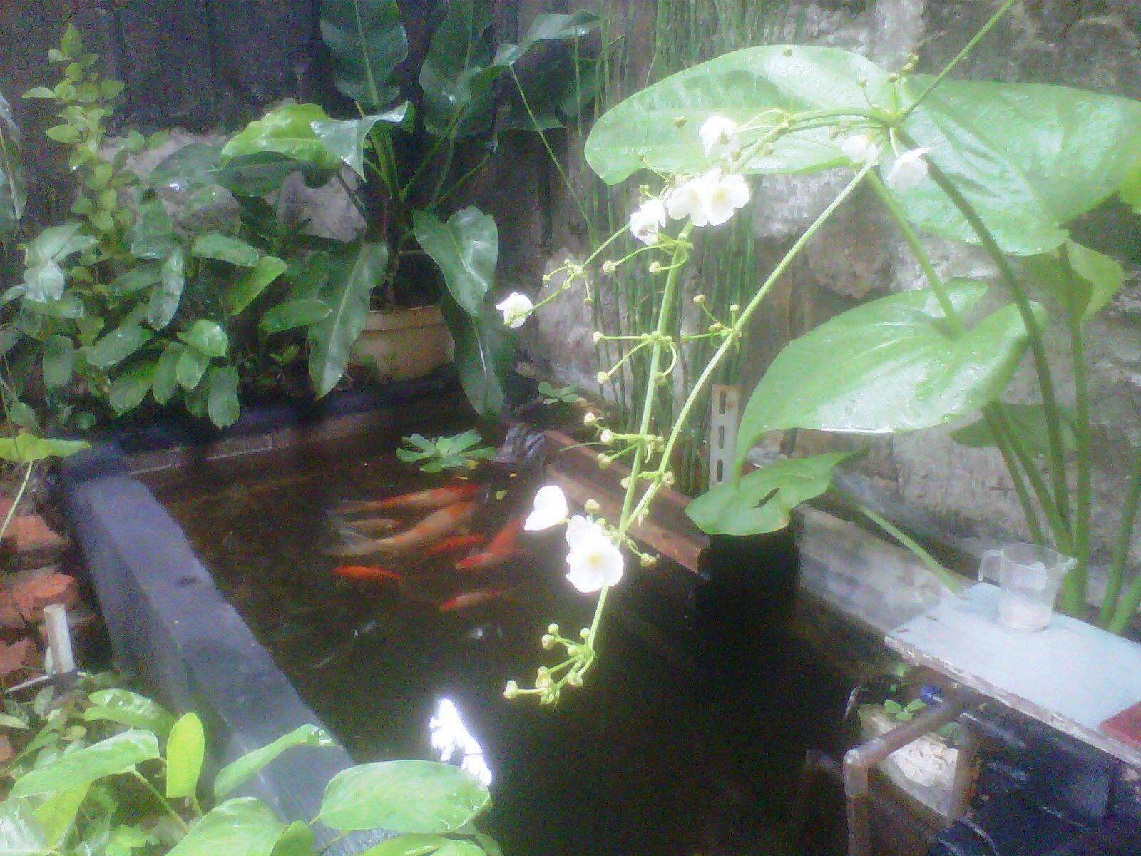 tips membuat kolam ikan minimalis 0821 1222 5020 review
