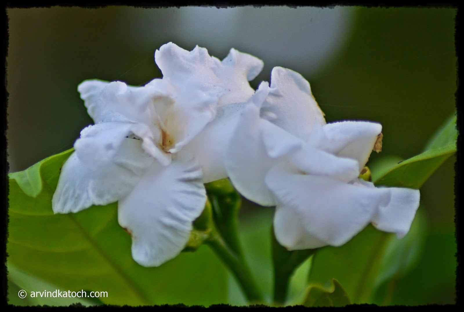 White Flowers, Mingled,