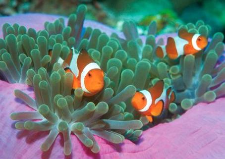 Clown Fish | Animal Wildlife