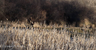 Lone red-winged blackbird in cattails on DePuy Spring Creek