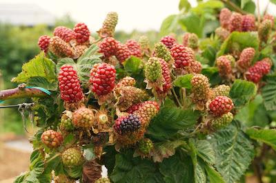 blackberries! - 'growourown.blogspot.com' - an allotment blog