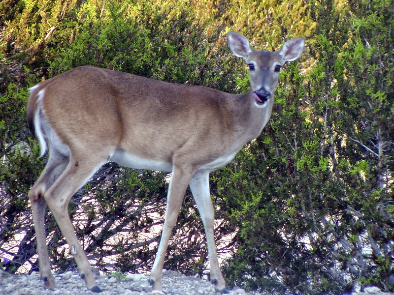 the deciduous forest biome the whitetailed deer