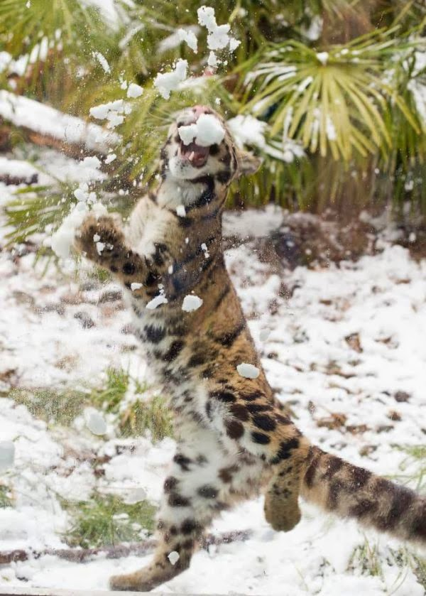 Leopard having fun in the snow (10 pics), cute leopard pictures, leopard playing in the snow
