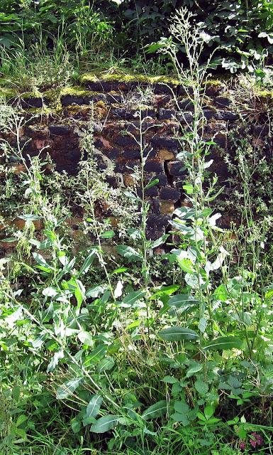 Prickly Lettuce, Lactuca seriola.  Scadbury Park, 11 September 2011.