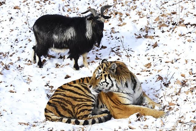 Дружба тигра Амура и козла Тимура