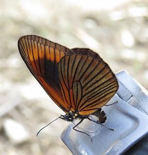 Lymanopoda acraeida, Acraeine-mimic Satyr