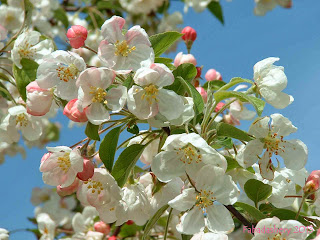 Cherry Blossom at the Keukenhof Gardens