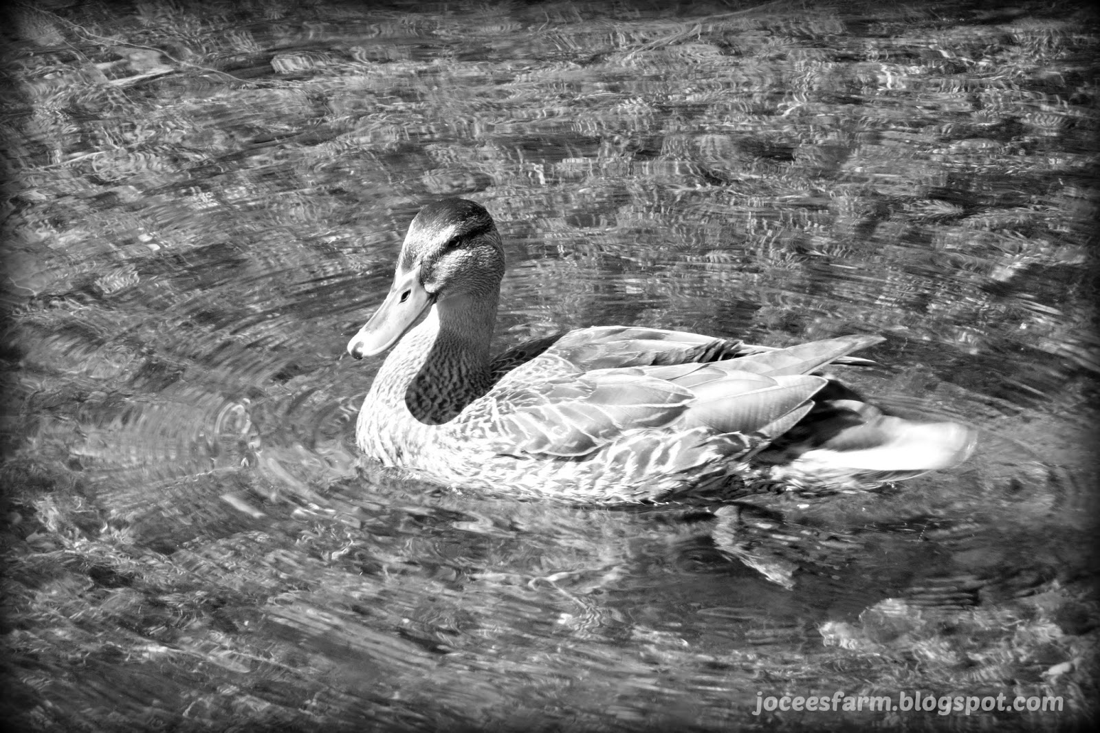 Ducks @  joceesfarm.blogspot.com