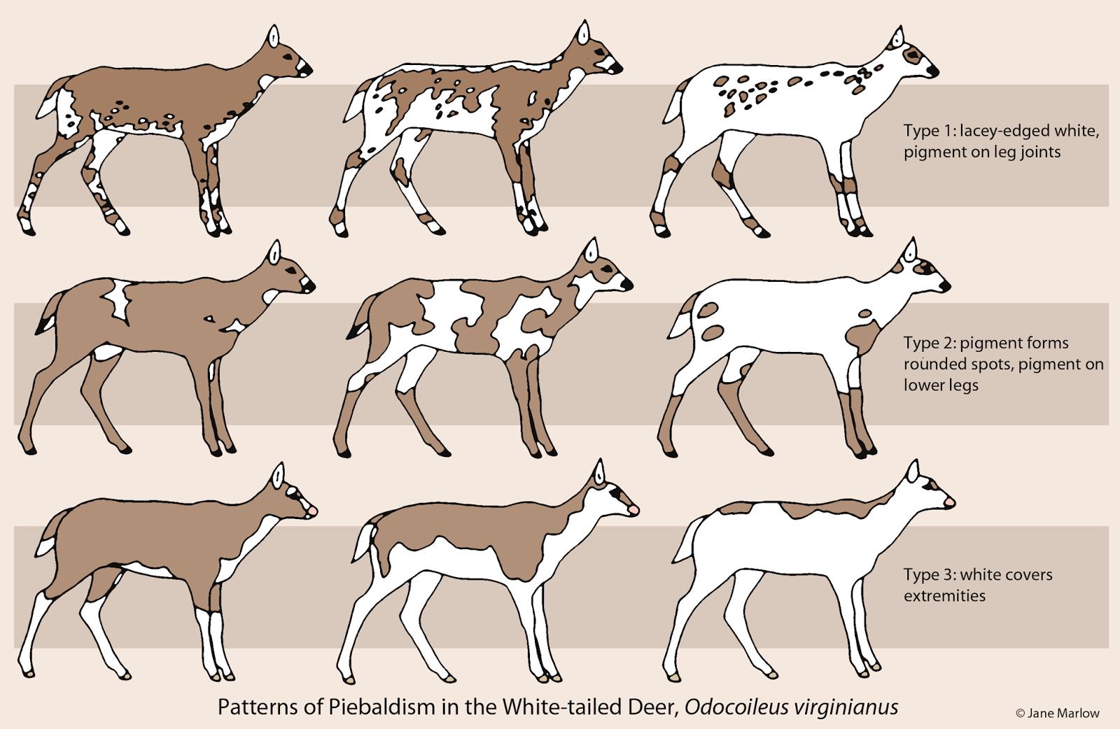 Piebald Deer Buck