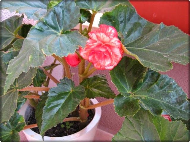 Begonija: Najtraženija kućna biljka - Moj Vrt Cvijeća