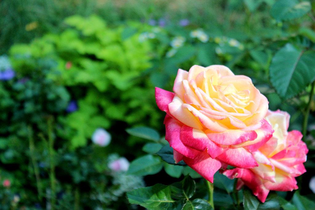 Imajenes de las flores mas hermosa del mundo imagui - Rosas rosas hermosas ...