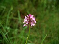 Exemplar d'orquídia Dactylorhiza maculata