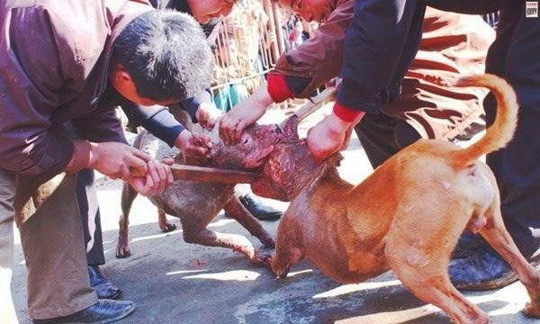 Rùng mình chứng kiến cảnh Chọi Chó đẫm máu