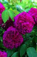 trandafirii-william-shakespeare