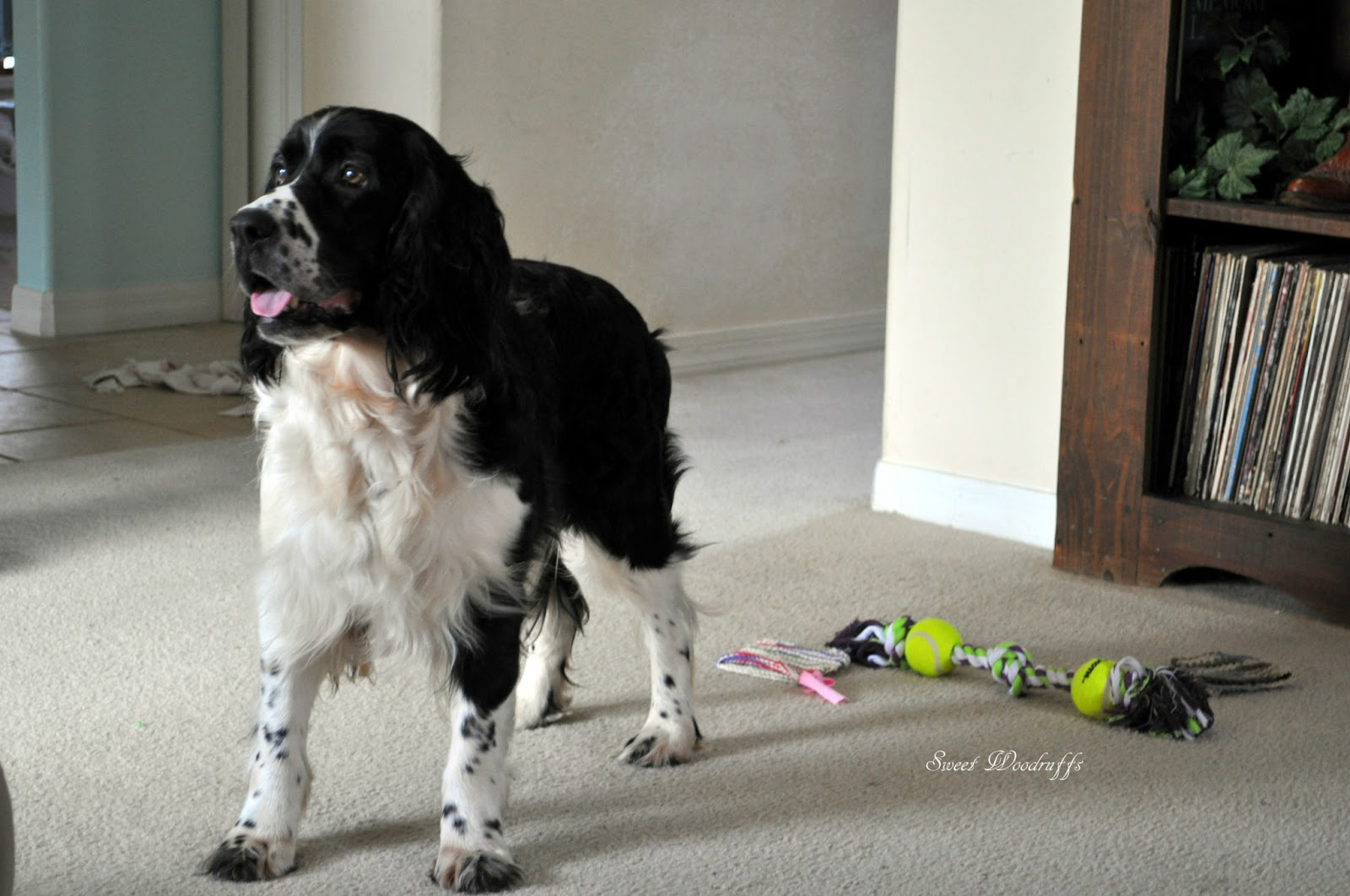 sweet woodruffs  springer spaniel rescue and foster