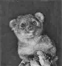 Olinguito weighs 2 pounds
