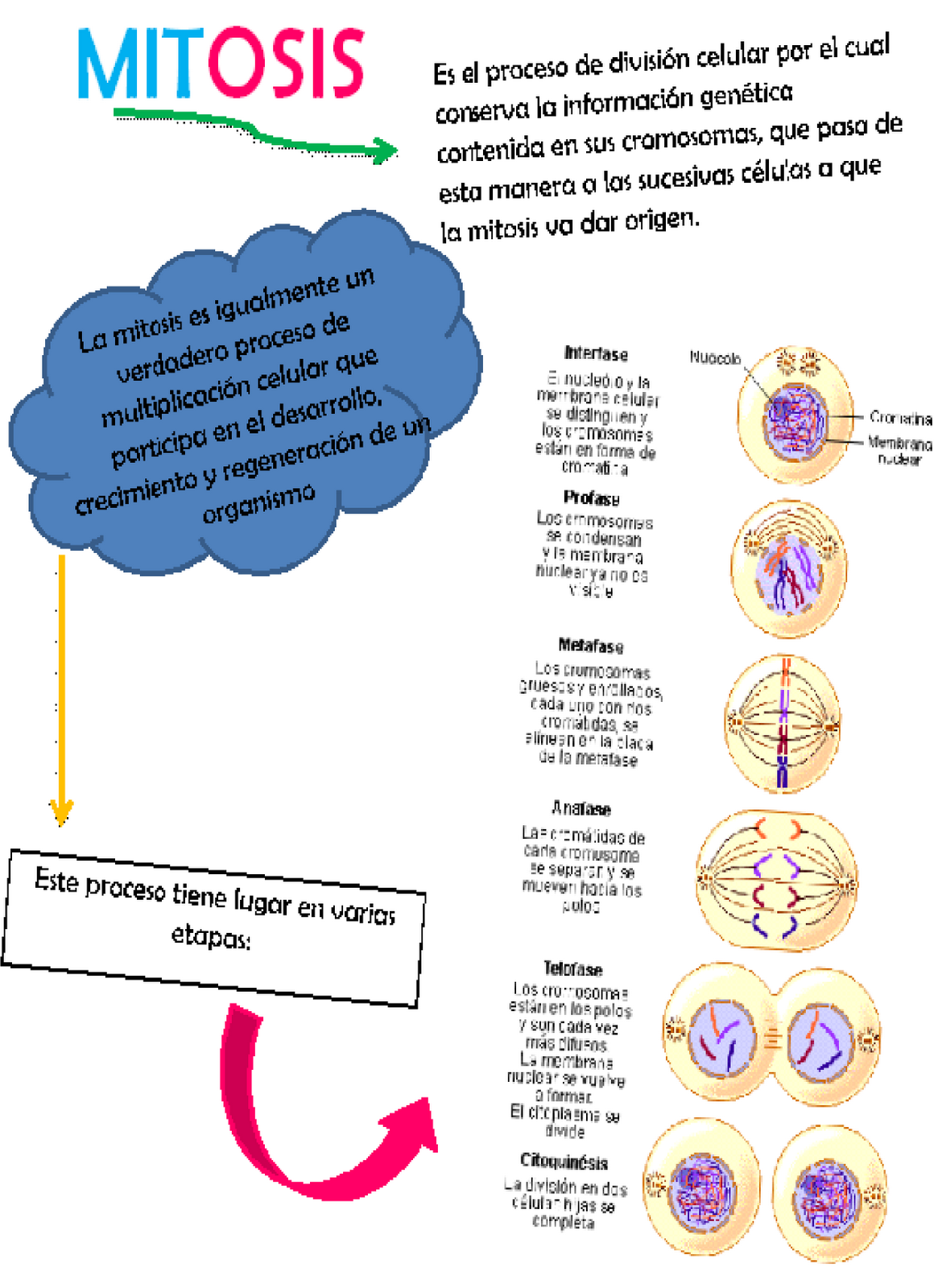 Pin Meiosis And Mitosis Cells on Pinterest