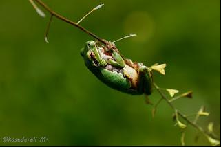 Çobançantası otuna tutunmuş bir oriental ağaç kurbağası