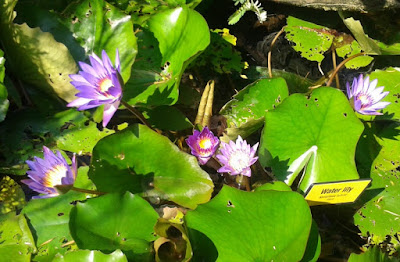 secret-garden-one-utama-purple-waterlilies