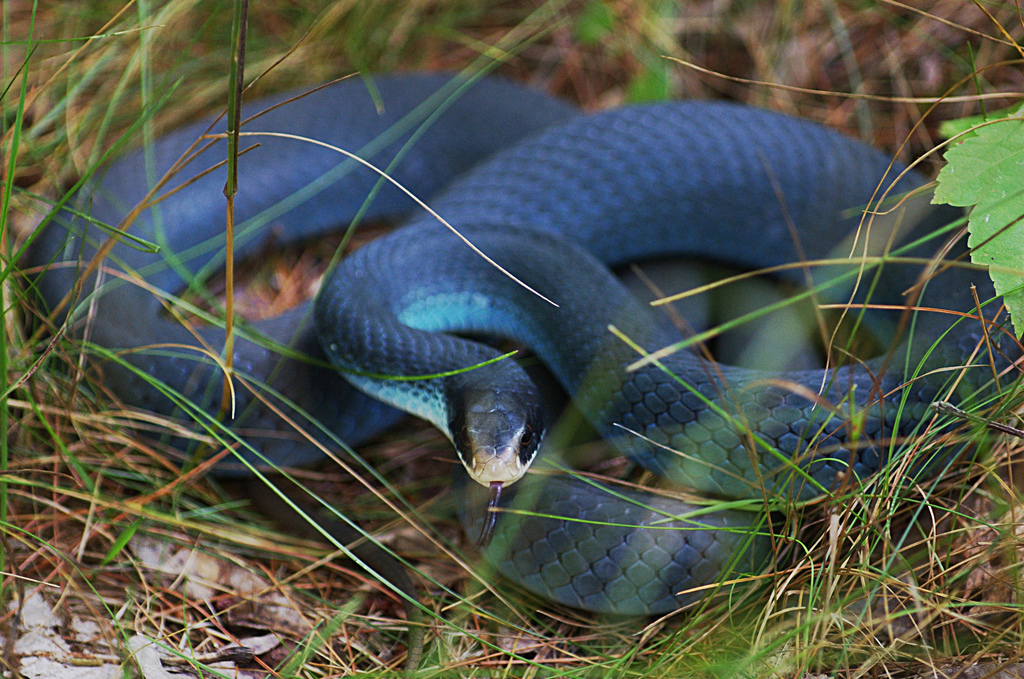 gambar ular berbisa - gambar ular