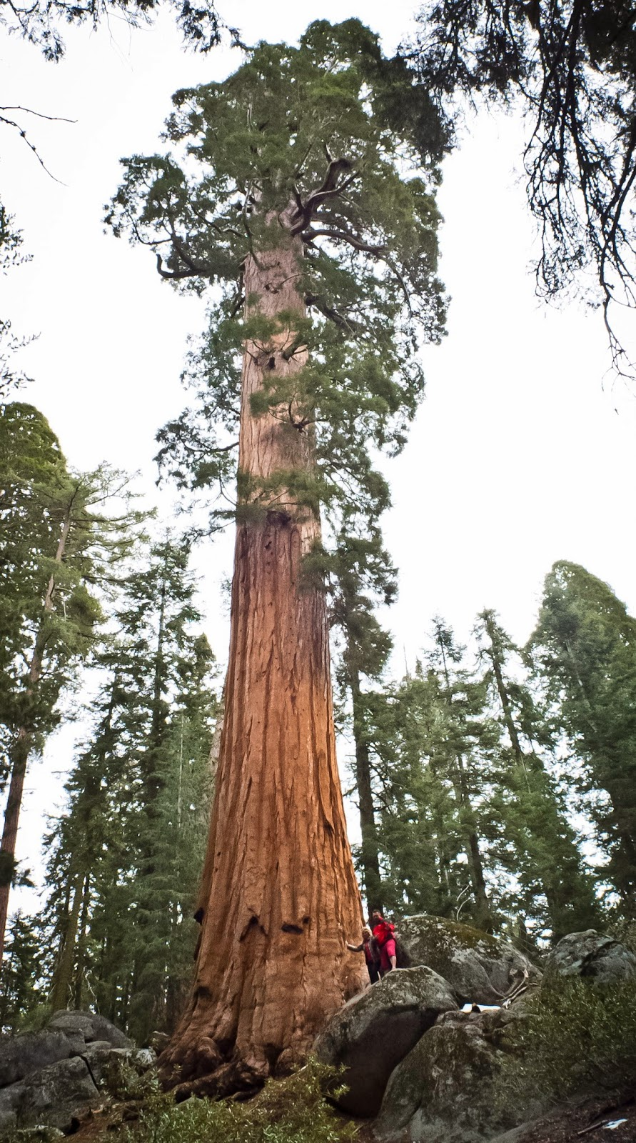California, Crannell Creek Giant, Earth, General Sherman, Giganteum, Highest Tree, Largest Tree, Living Tree, News, Oldest Tree, Sequoiadendron, Tallest Tree, Tress, Widest Tree, World  Largest Tree, Offbeat,