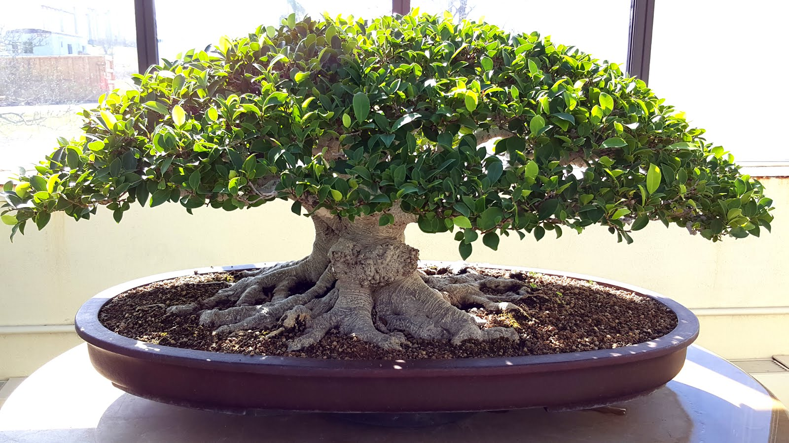 Bonsai Misadventures Leaf Reduction And Its Ramification