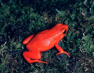 Weirdest Frogs On Earth Red Mantella Frog