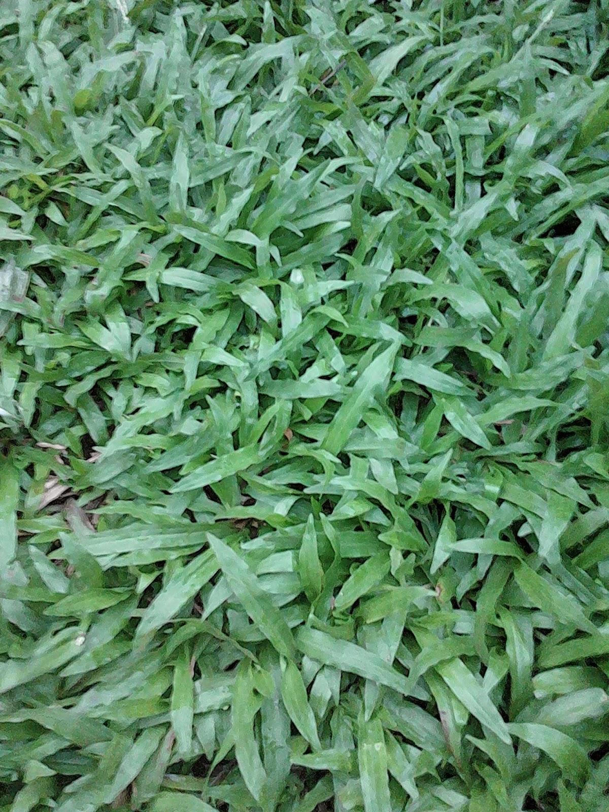 Jual rumput gajah | jasa tanam rumput | manfaat rumput untuk menahan erosi | aneka rumput