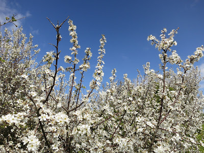 Blackthorn blossom (white) against a blue sky.