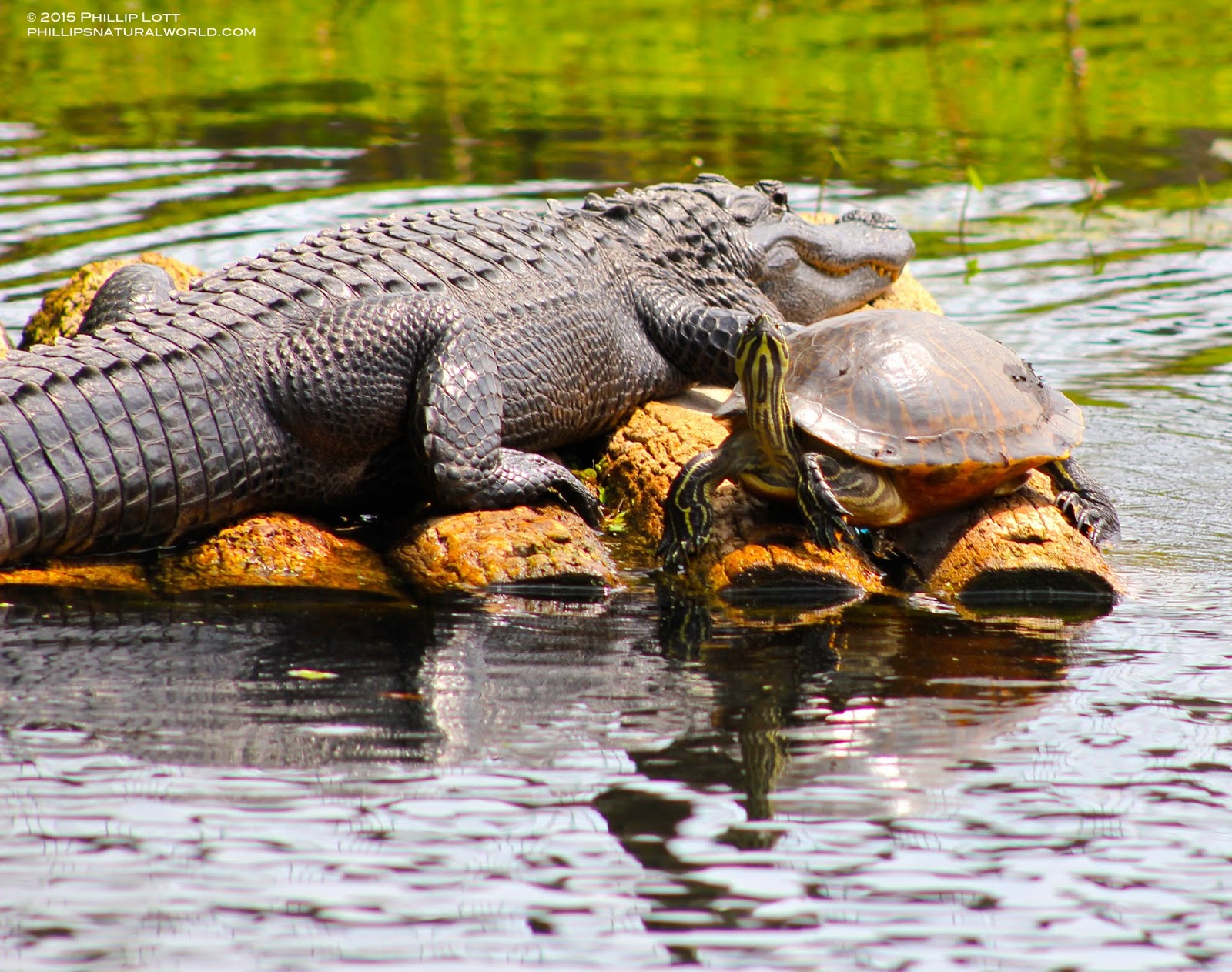 Alligator%2Band%2BYellow bellied%2BSlider%2BHomosassa%2BSprings%2BJune%2B2015%2BCopyright%2BPhillip%2BLott%2Bc alligators, sunflowers, and florida heat phillip's natural world 1 0 2