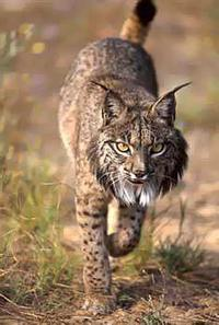 Iberian Lynx Cat, Iberian Lynx Kittens,cubs,Lynx facts and images.