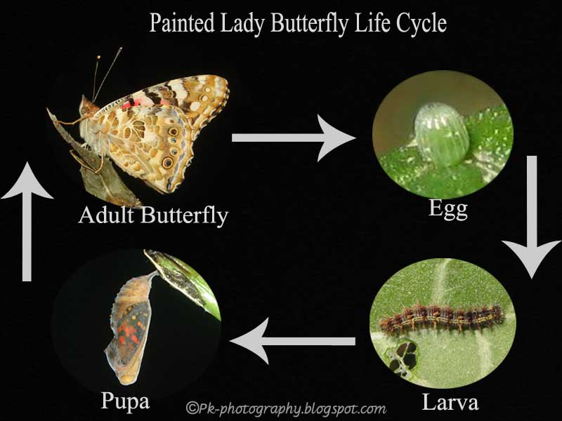 Painted lady butterfly diagram - photo#21