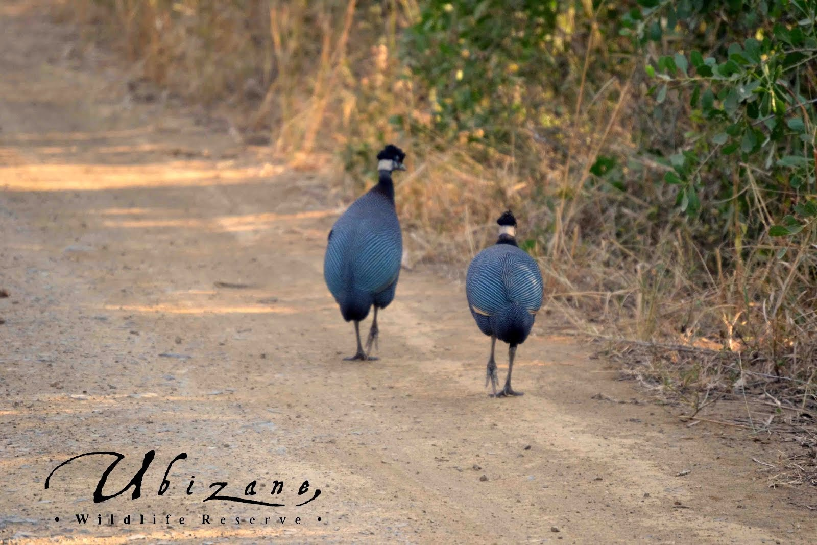 Crested Guineafowls