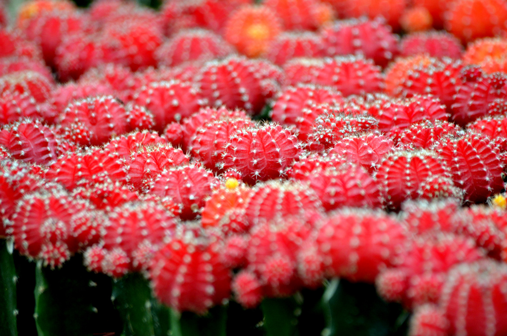 Gambar Kaktus Bunganya Fourlook Mewarnai Bunga di Rebanas ...